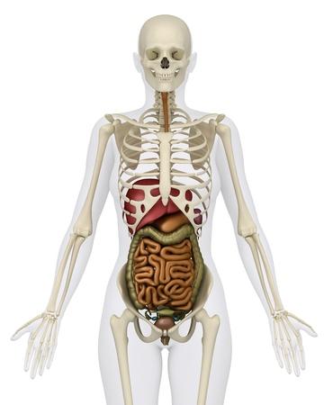 ovaire: Anatomie de l'abdomen Banque d'images