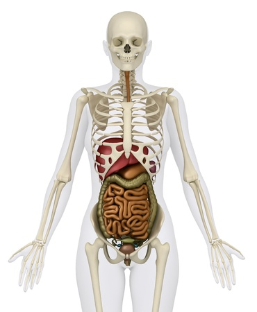 Anatomy of abdomen Stock Photo - 9651178