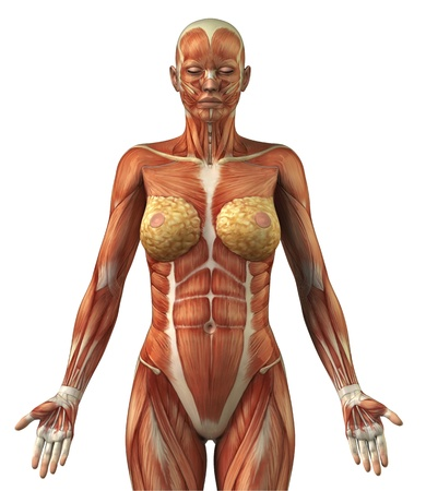 Body without skin anterior view Stock Photo - 9651187