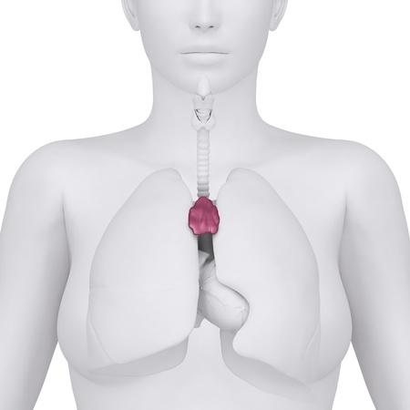 Anatomy of thorax photo