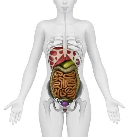 human body anatomy: Anatomy of abdomen Stock Photo