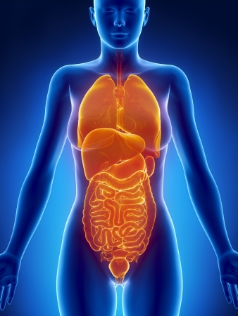 ileum: Anterior view of female body