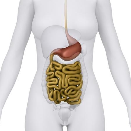 Anatomy of abdomen photo