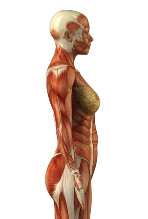Body without skin lateral view Stock Photo - 9779124