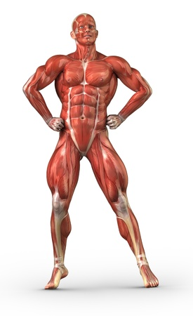 Muscle anatomy Stock Photo - 10010532