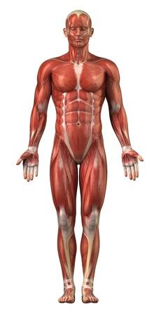 Anatomie van menselijke spieren Stockfoto
