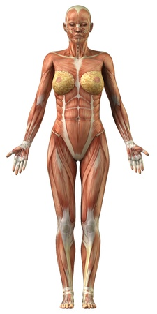 trapezius: Vista frontal del sistema muscular femenino Foto de archivo
