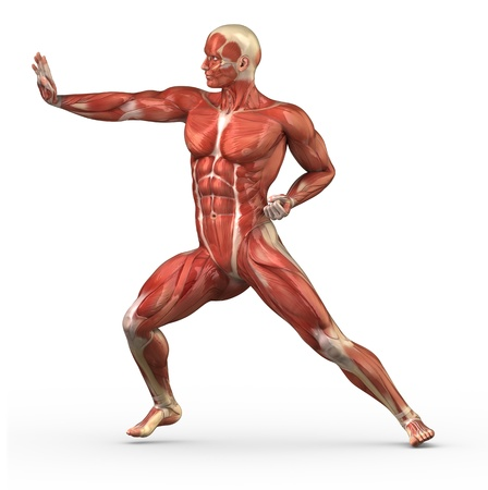 Anatomy of human muscles Stock Photo - 10010516