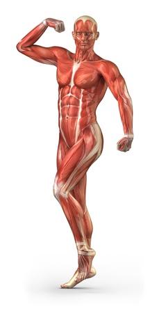 trapezius: Anatom�a muscular Foto de archivo