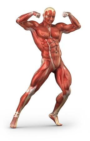 trapezius: Anatom�a del m�sculo de hombre