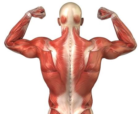 Anatomia dei muscoli umani Archivio Fotografico - 10010552