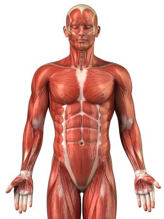 anatomia humana: Anatom�a muscular Foto de archivo