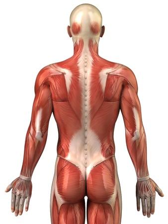 Anatomía De Los Músculos Humanos Fotos, Retratos, Imágenes Y ...