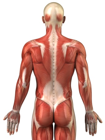erector: Anatomy of human muscles Stock Photo