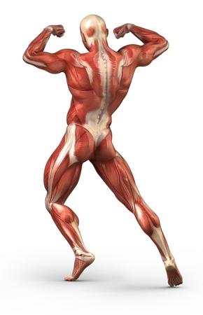 anatomie mens: Anatomie van menselijke spieren Stockfoto