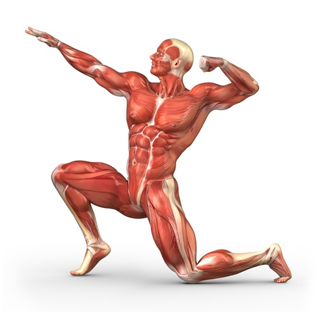 Human muscle anatomy photo