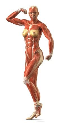 latissimus: Anatomia femminile muscolare Archivio Fotografico