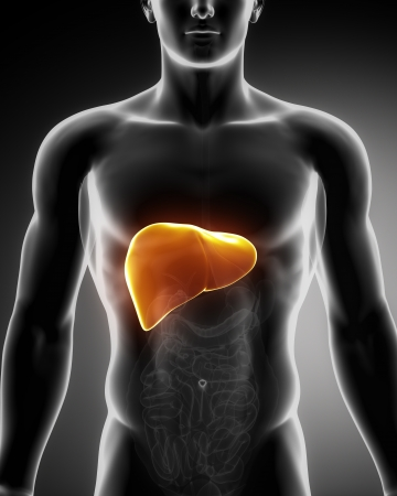 liver organ: Male anatomy of human organs in x-ray view Stock Photo