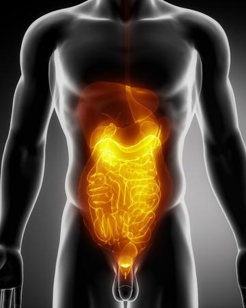 trzustka: Samiec anatomii organami ludzkimi w widoku x-ray