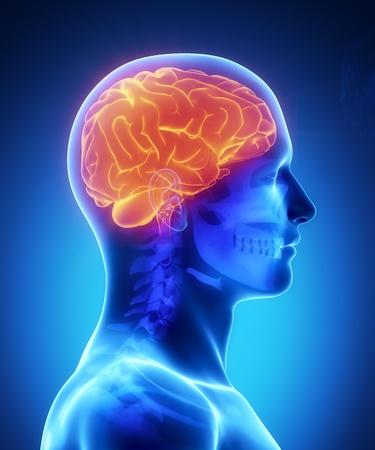 cerebro humano: Anatomía masculina de órganos humanos en vista de rayos x
