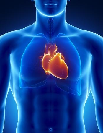 pulmon sano: Anatom�a masculina de �rganos humanos en vista de rayos x