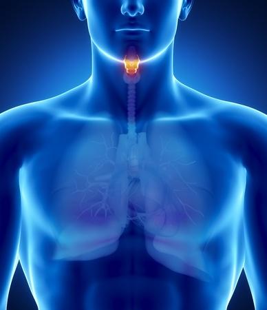 aparato respiratorio: Anatom�a masculina de �rganos humanos en vista de rayos x