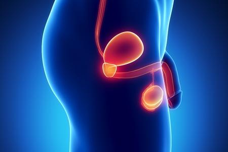 Mannelijke anatomie van menselijke organen volgens x-ray