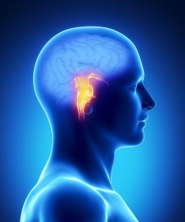 tallo: Anatom�a masculina de �rganos humanos en vista de rayos x
