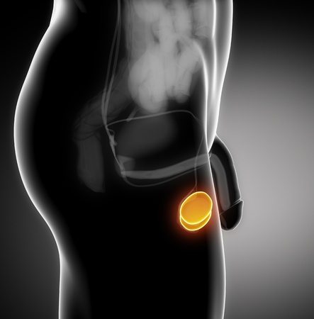 uretra: Anatom�a masculina de test�culo humano en vista de rayos x Foto de archivo