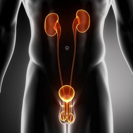 testicles: Anatom�a masculina del tracto urogenital humano en vista de rayos x Foto de archivo