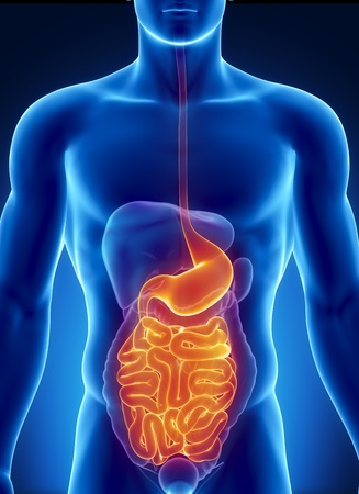 pancreas: Male anatomy of human digestive tract in x-ray view Stock Photo