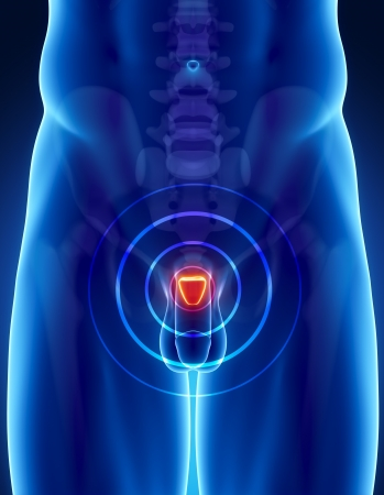 testicles: Anatom�a masculina de pr�stata humana en vista de rayos x Foto de archivo
