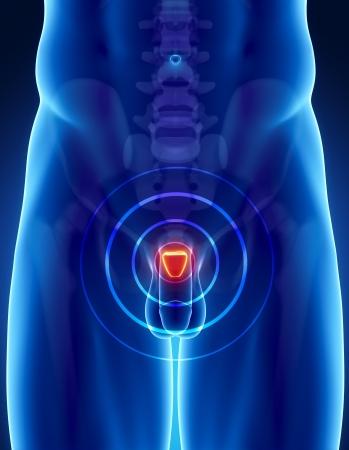 pene: Anatomia maschile della prostata umana in vista a raggi x Archivio Fotografico