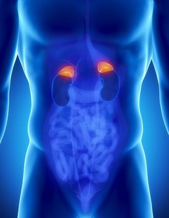 scrotum: Anatomia maschile delle surrenali umana in vista a raggi x