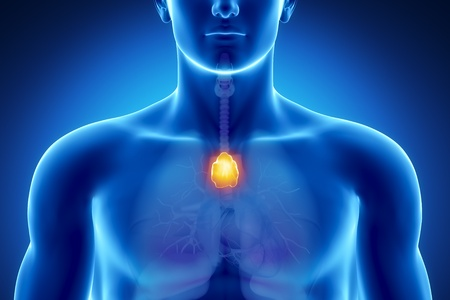 Male anatomy of human thymus in x-ray view Stock Photo - 10395455