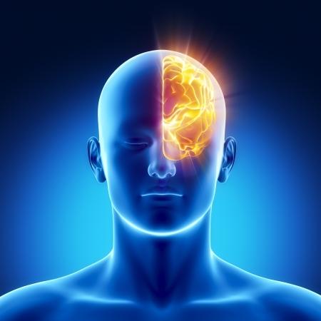 anatomie humaine: Anatomie masculine de l'h�misph�re gauche humain dans x-ray vue Banque d'images