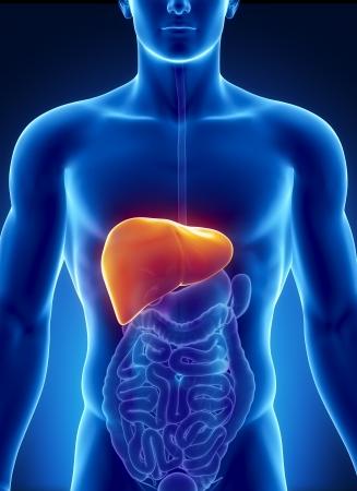 higado humano: Anatomía masculina de hígado humano en vista de rayos X