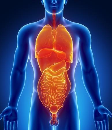 trzustka: Mężczyzna anatomii narządów ludzkich w x-ray widzenia