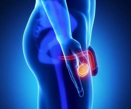Anatomía masculina del pene humano en vista de rayos x