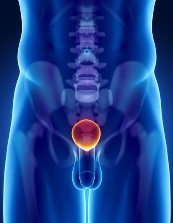 testicles: Anatom�a masculina de vejiga humana en vista de rayos x