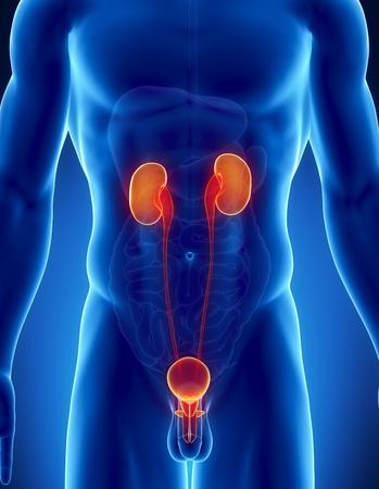 testicles: Anatom�a masculina de humano del tracto urinario en la vista de rayos x Foto de archivo