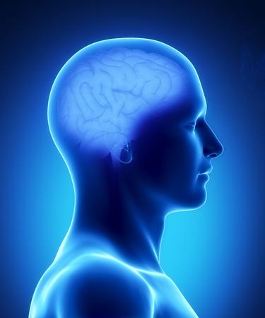 Male anatomy of human brain in x-ray view photo