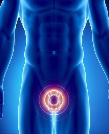 testicles: Anatom�a masculina del pene humano en vista de rayos x