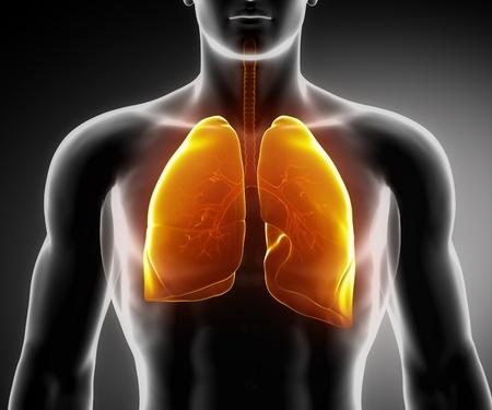 aparato respiratorio: Anatom�a masculina sistema respiratorio de �rganos humanos en vista de rayos x Foto de archivo