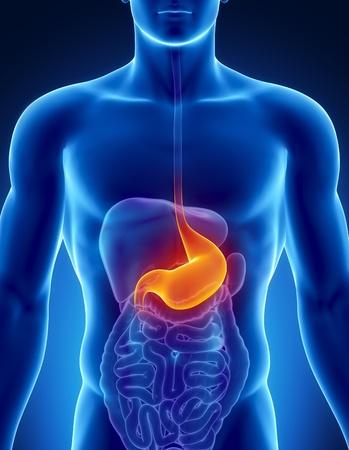 желудок: Мужской анатомии желудка человеческими органами в рентгеновском зрения