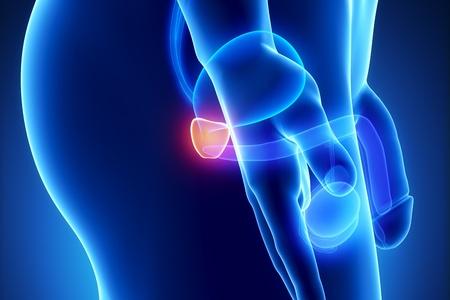 testiculos: Anatomía de próstata masculina de órganos humanos en vista de rayos x