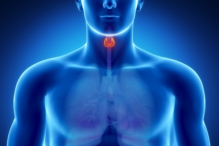 thyroid: Male thyroid anatomy of human organs in x-ray view Stock Photo