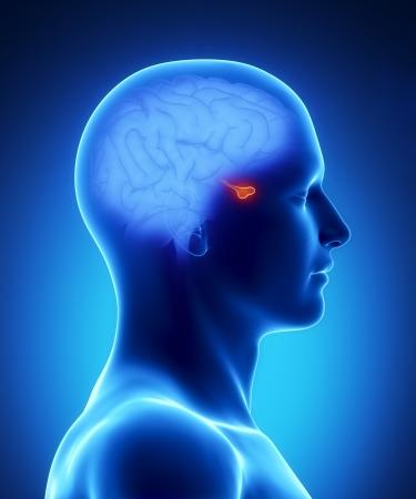hipofisis: Anatom�a masculina pituitaria de �rganos humanos en vista de rayos X Foto de archivo
