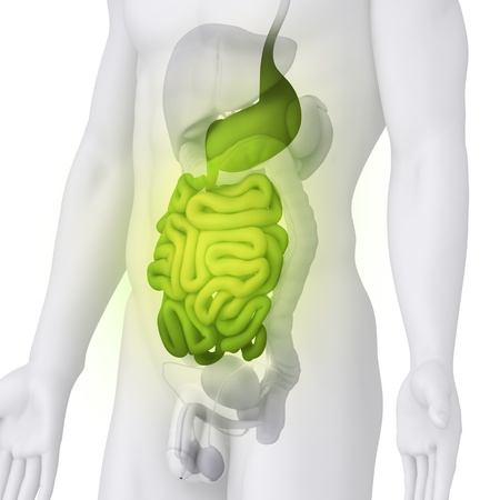 pancreas: Male GUTS and STOMACH anatomy illustration on white ANGLE VIEW
