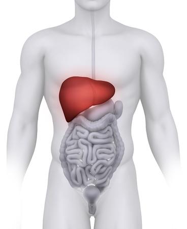 higado humano: Ilustración de anatomía de hígado masculina en blanco  Foto de archivo